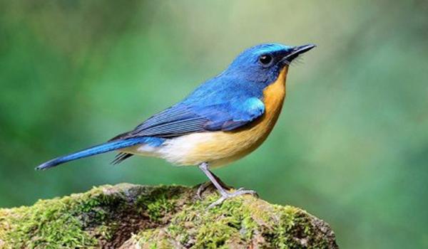 burung tledekan gacor