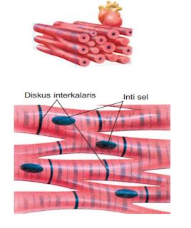 Ciri-ciri jaringan otot jantung