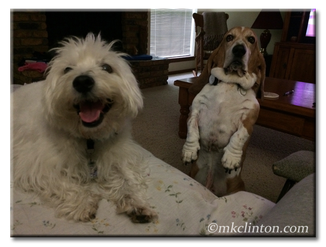 Pierre Westie and Bentley Basset begging