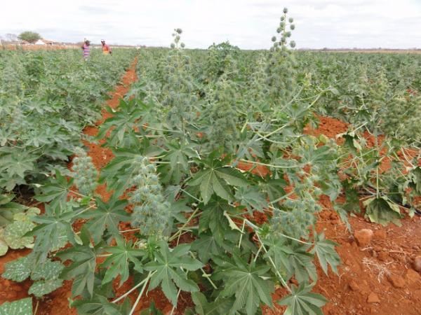 Região de Irecê-BA será contemplada com um convênio de fortalecimento da produção de mamona