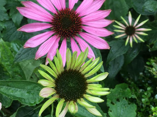 Herlig hvit og rosa purpursolhatt - Utsprunget og litt mindre utsprunget