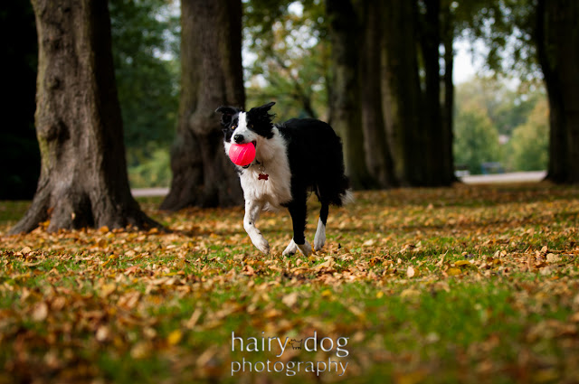 photo of a collie dog in Darlington