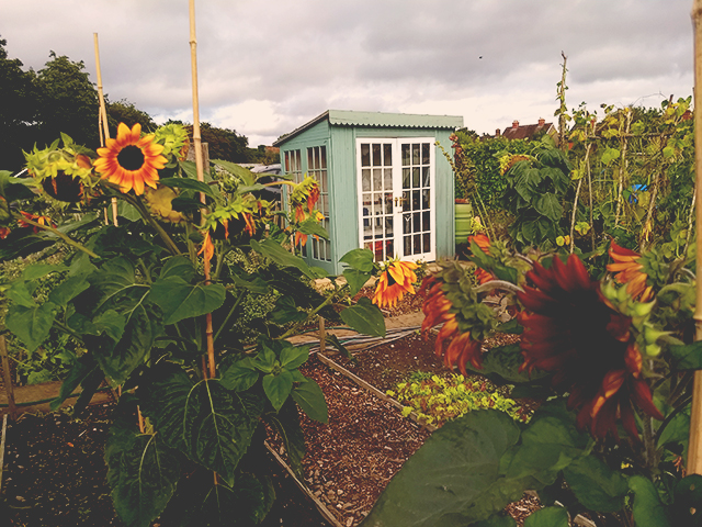 Allotment sunflowers and shed