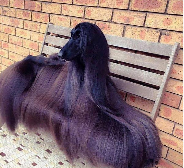 "Dog with flowing ""Brazilian hair"" becomes Internet sensation"