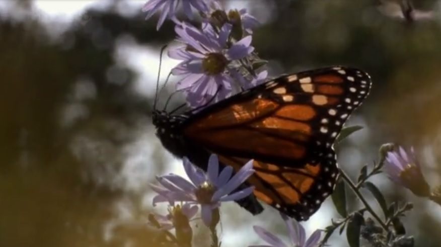 Tipping point breached! Monarch butterfly has a 95% decline since 1980's in North America Naamloos