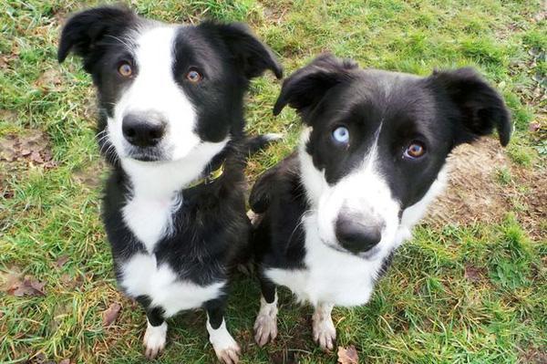 Cô chó bị ruồng bỏ vì mang đôi mắt đột biến mỗi bên một màu