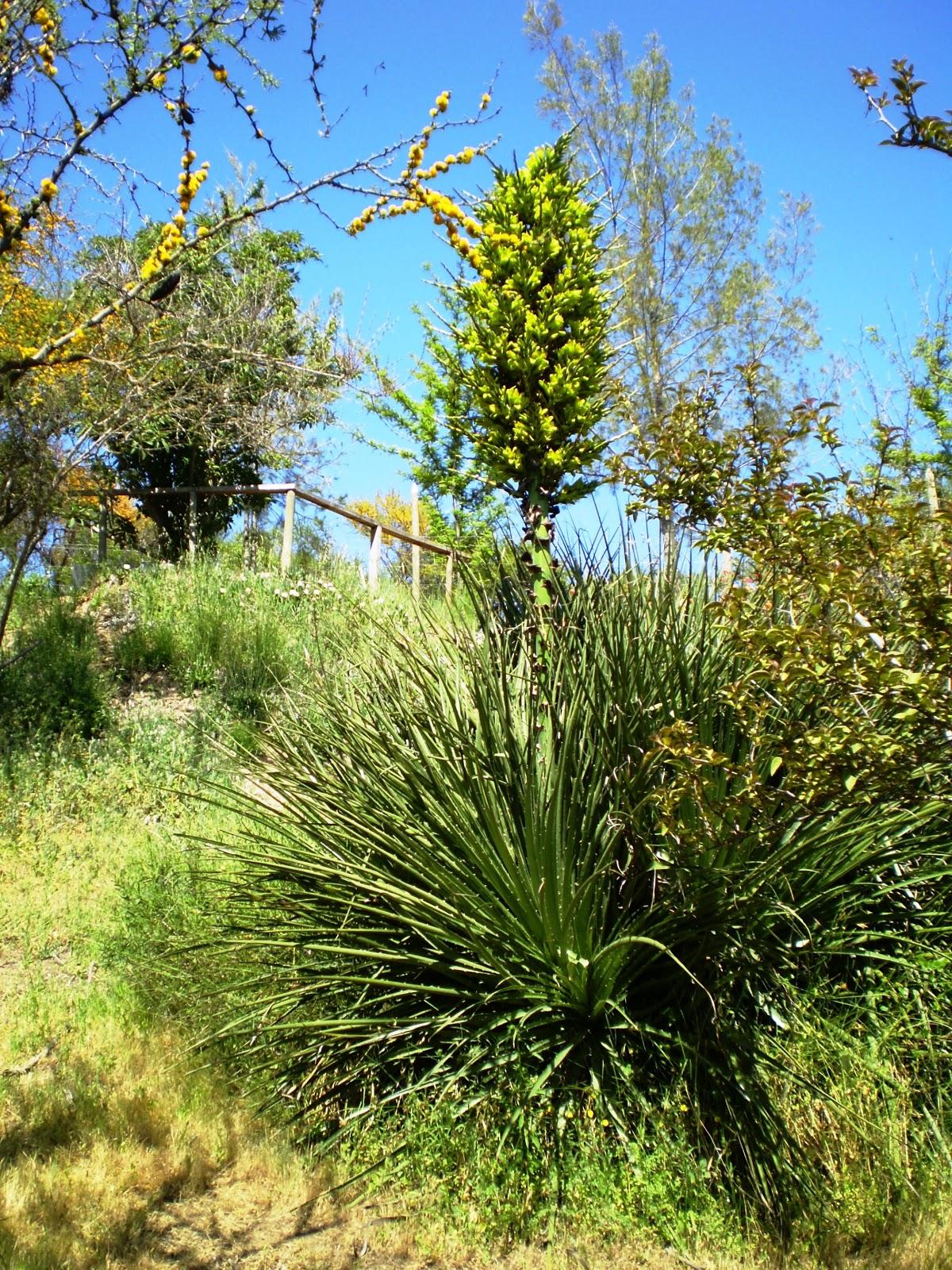 fernando ruz plantas nativas de chile chagual puya