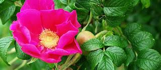 Jam from wild rose petals
