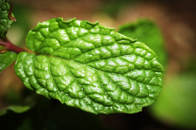 Peppermint/Pudina Benefits for hair