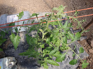 Deformed tomato plant infected with virus
