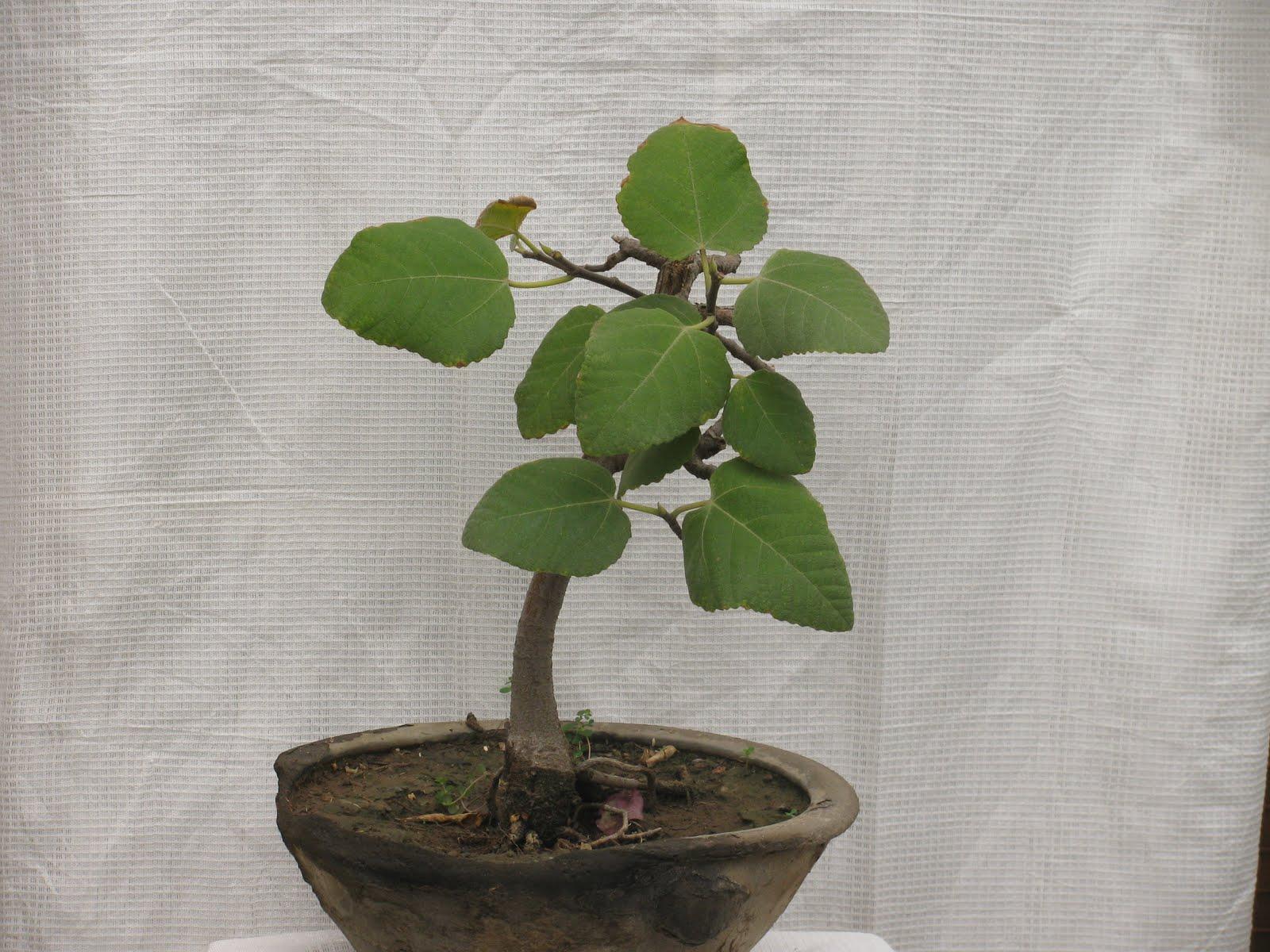Bonsai Tree 20 Beautiful Carissa Bonsai Images