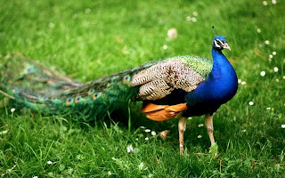 Peacock Wallpapers In HDPeacock Pics Images Pictures Most Beautiful WallpapersPeahen HDPeahen