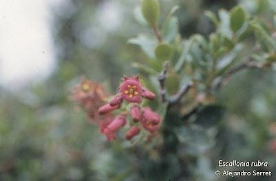Sietecamisas Escallonia rubra