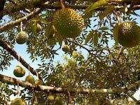 Klasifikasi Dan Morfologi Tanaman Durian Lengkap