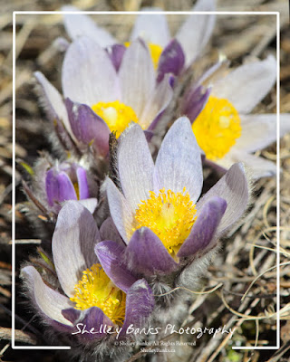 Prairie Crocus, © Shelley Banks, all rights reserved