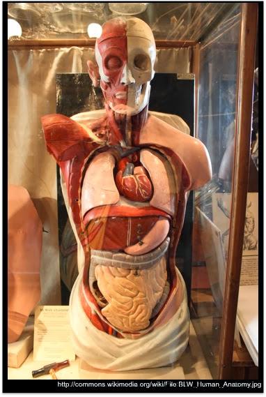 The Mathisen Corollary: Human internal organs connected to