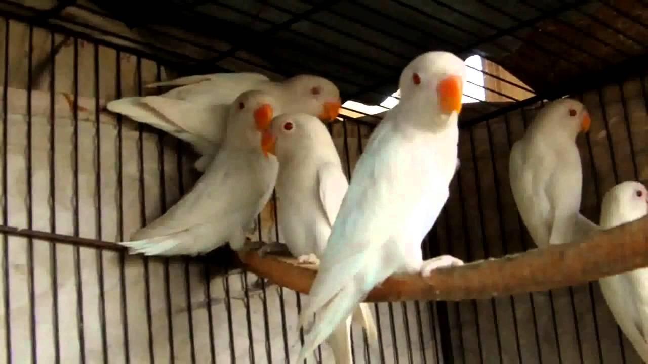 ternak burung kicau harga jual lovebird albino mata merah