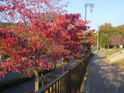 寝屋川公園 紅葉ウォーキング 秋のハナミズキ