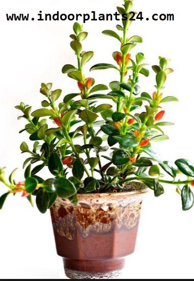 Nematanthus INDOOR PLANT IMAGE