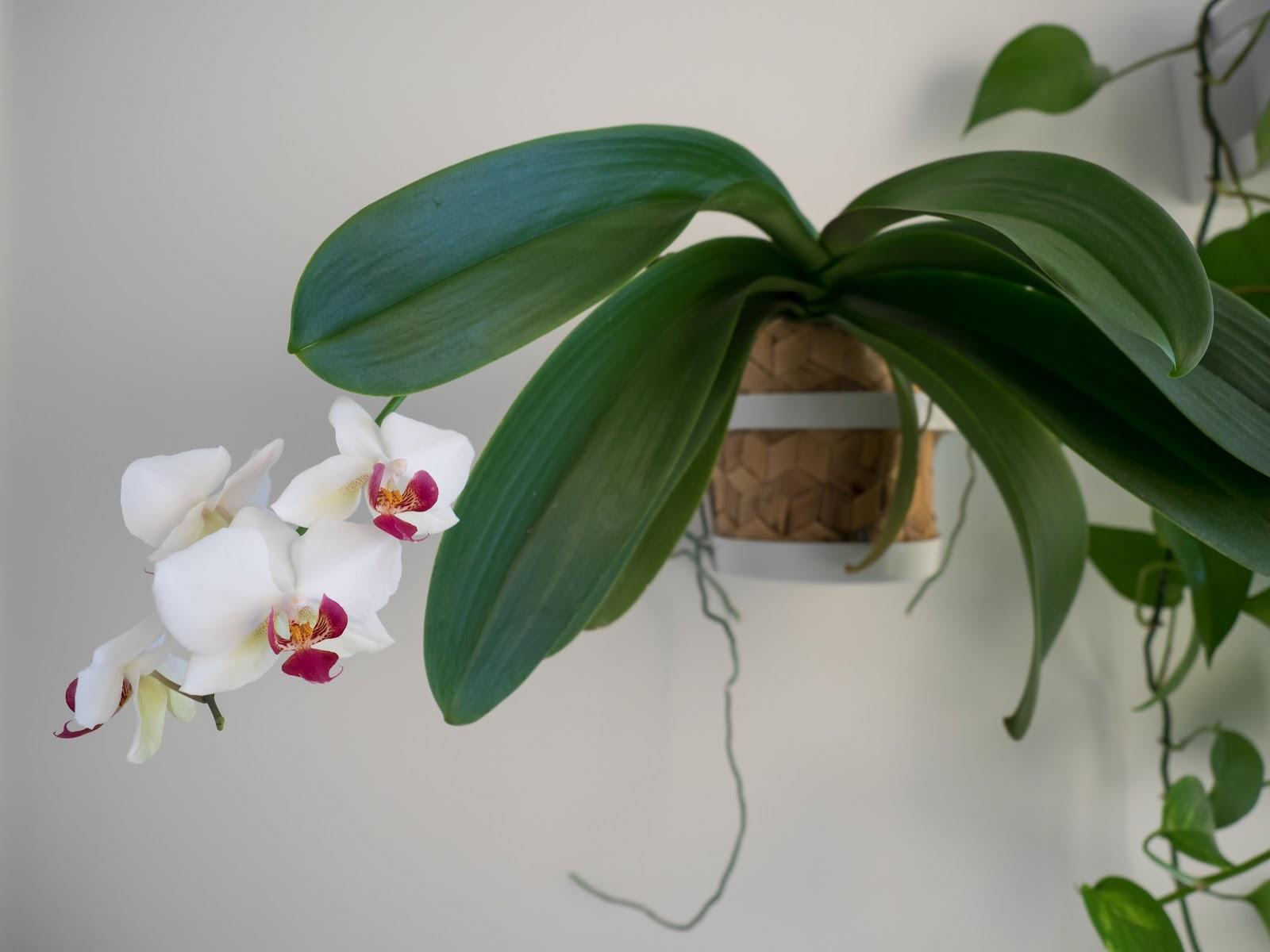 Talostakoti orkidean kukka