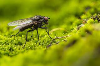 pengusir lalat ampuh