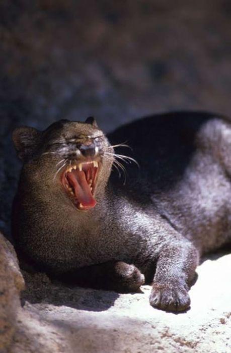 The Jaguarundi Cat Nice N Funny