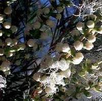 Top 15 Most Powerful Medicinal Plants- Medicinal Tea tree