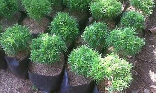 http://www.jasa-tukangtaman.com/2017/02/jual-pohon-brokoli-hias-tanaman-hias.html