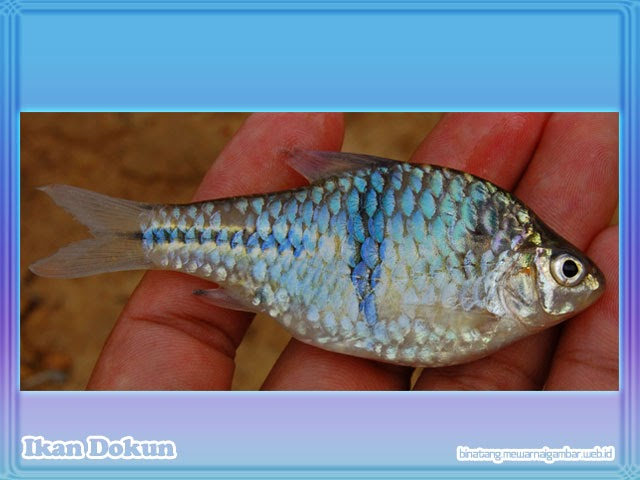 gambar ikan dokun