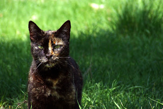 Tortoiseshell Cat pictures/ image/ photo