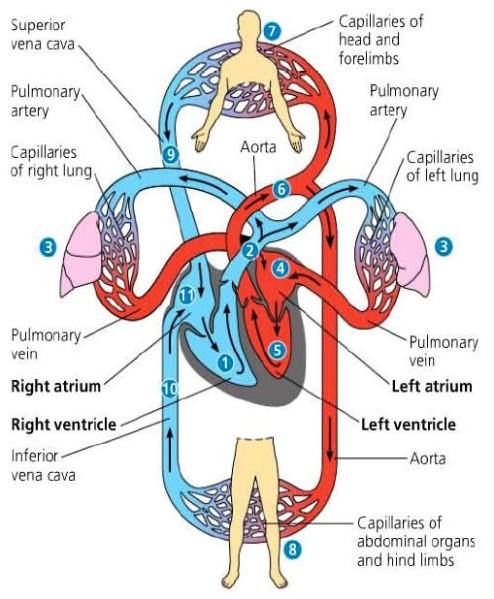 Sistem Peredaran Darah Besar dan Peredaran Darah Kecil