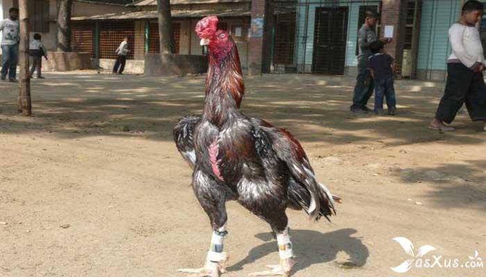 10 Jenis Ayam Aduan Beserta Gambar, Nama, dan Ciri-cirinya