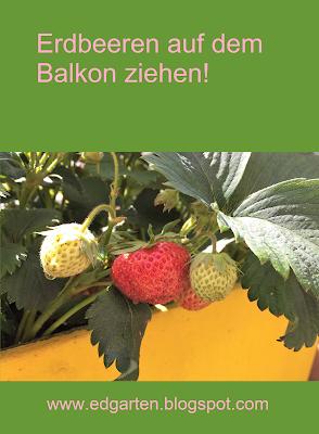Pin: Gedeihen Erdbeeren auf dem Balkon?