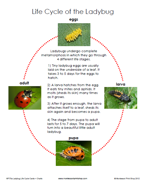 Asian Lady Beetle Life Cycle 93