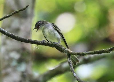 Elaenia birds