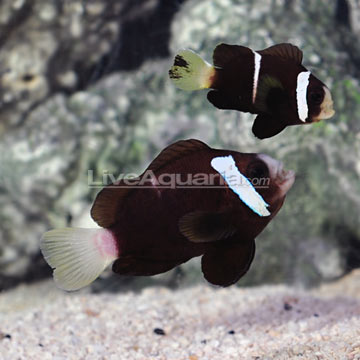 17 days later Mccullochi Clownfish fry are growing up ... |Mccullochi Clownfish