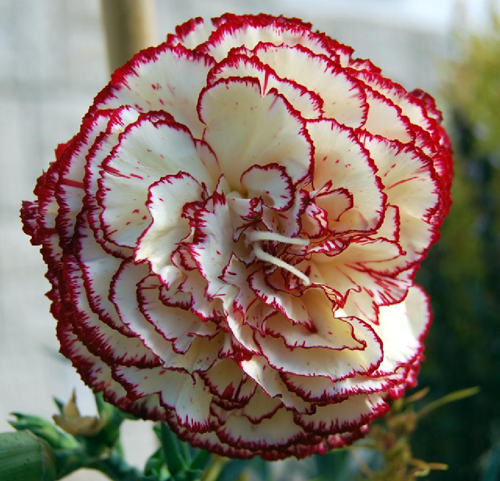 Fotos de flores: CLAVELES DE VARIOS TIPOS Y COLORES