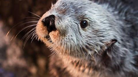 Elpusztult Charlie, a fogságban élő legöregebb kaliforniai tengeri vidra