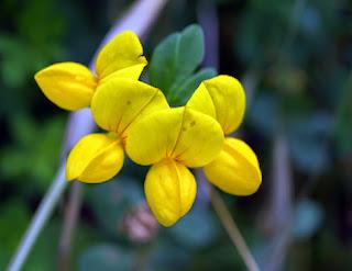 Cuernecillo (Lotus corniculata)
