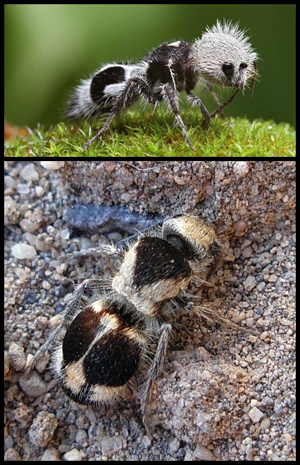 Panda Ant