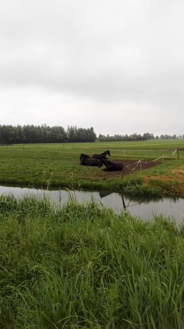 Paarden in een weiland aan de rand van Maarssen