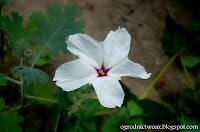 Dziwaczek długokwiatowy- Mirabilis longiflora