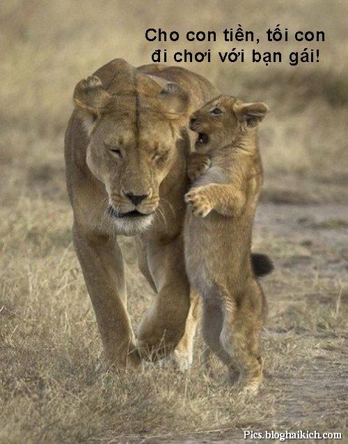 Ảnh hài hước về sư tử