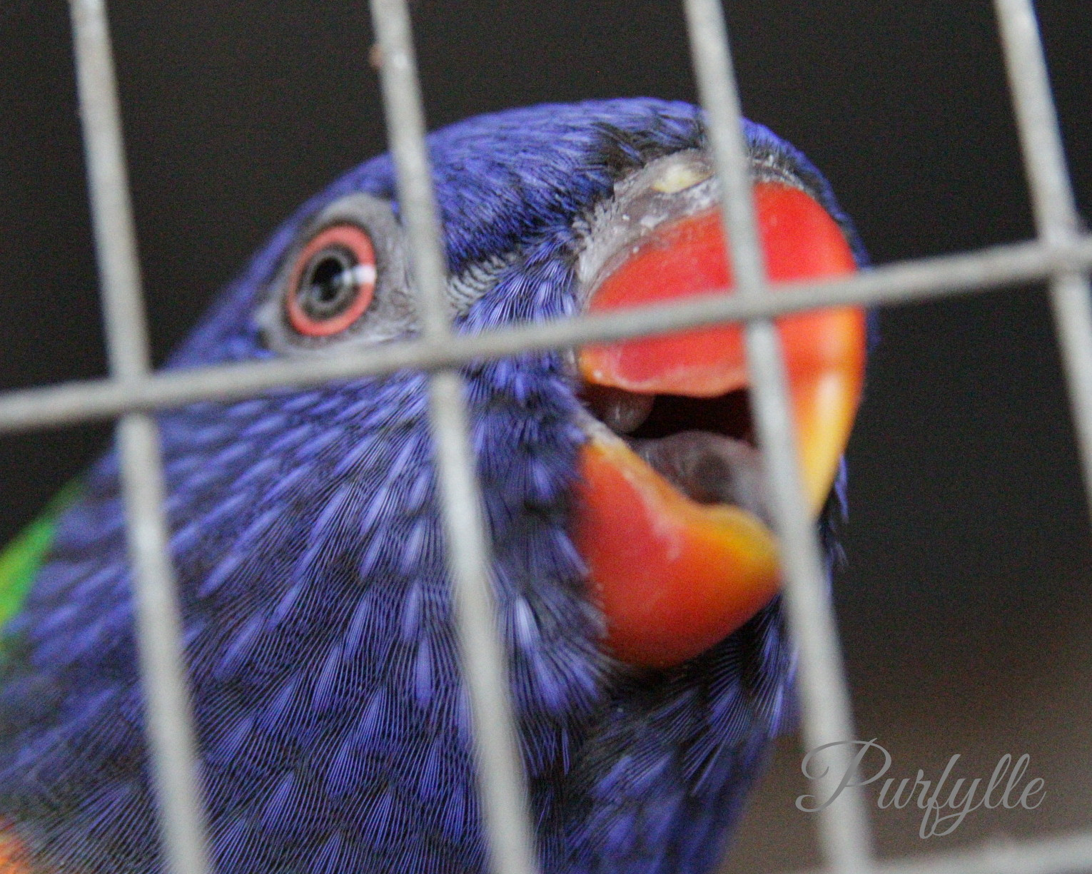 Loki the lorikeet