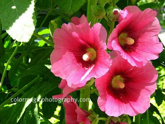 Dark pink hollyhock-close-up