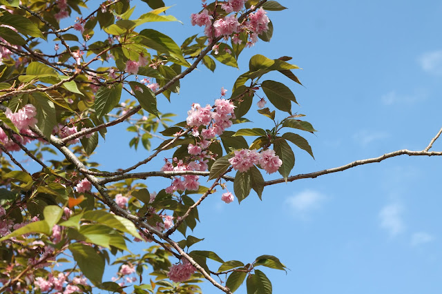 cherry blossom tree and blue sky