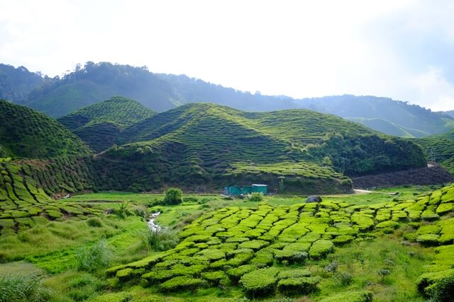 Bagdogra Tea Plantations
