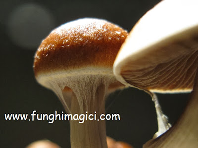 Come coltivare i Funghi Allucinogeni