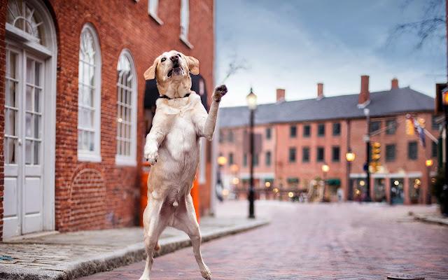 Hond loopt op achterste poten