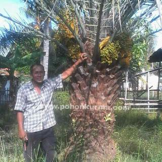 jual pohon kurma berbuah tinggi 1 meter batang keras harga terbaik